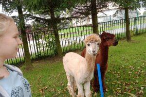 Wychowanka patrzy na dwie alpaki, które stoją obok.