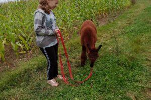 Na zdjęciu jedna z wcyhowanek trzyma alpake na smyczy, ta zaś je trawę.