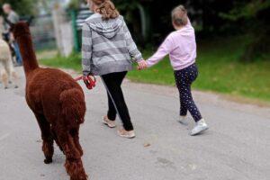 Na zdjęciu widoczne są 2 wychowanki, które prowadzą alpakę na smyczy