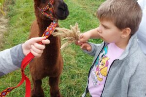 Wychowanka wraz z opiekunem karmi alpakę
